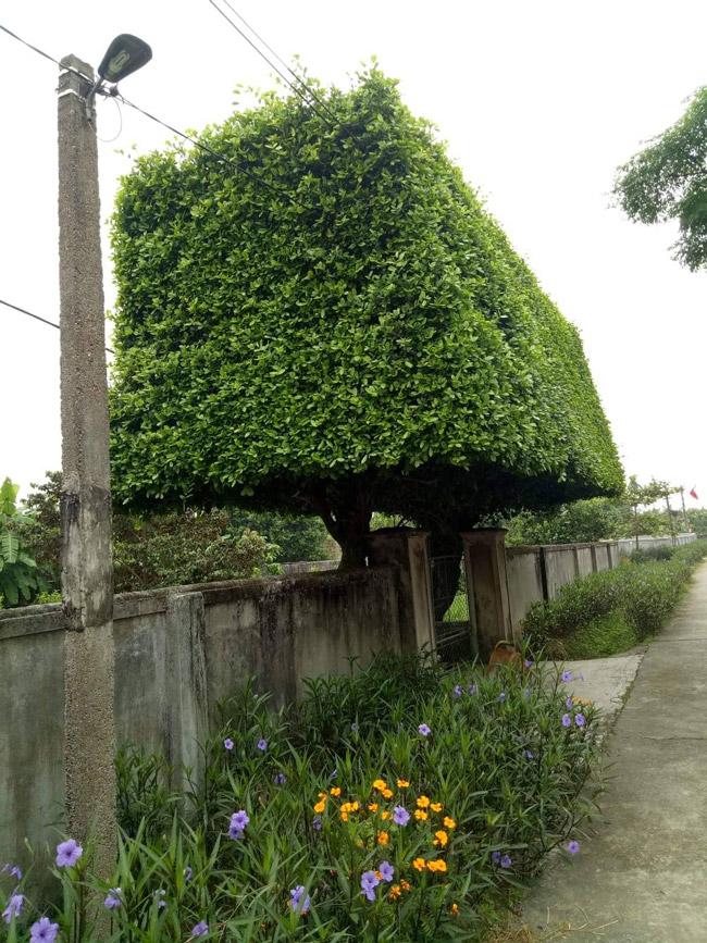 Người đàn ông Nghệ An biến 2 cây duối bỏ đi thành cổng nhà có giá hơn nửa tỷ-2