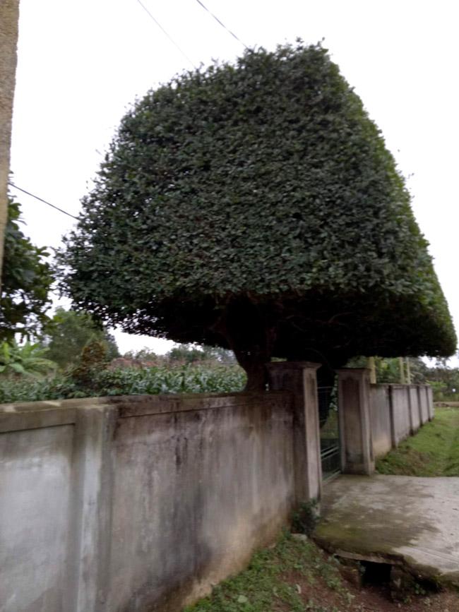 Người đàn ông Nghệ An biến 2 cây duối bỏ đi thành cổng nhà có giá hơn nửa tỷ-3