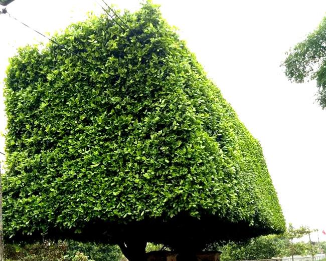 Người đàn ông Nghệ An biến 2 cây duối bỏ đi thành cổng nhà có giá hơn nửa tỷ-4
