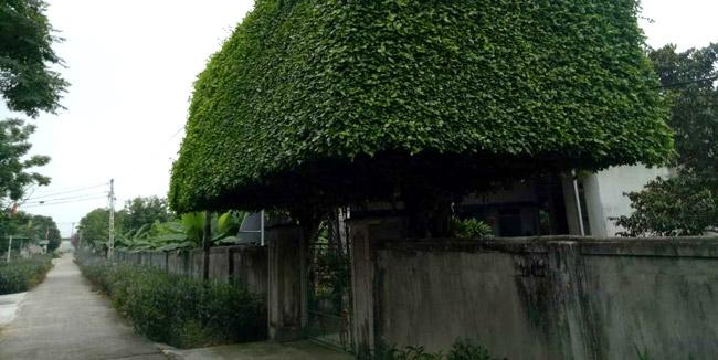 Người đàn ông Nghệ An biến 2 cây duối bỏ đi thành cổng nhà có giá hơn nửa tỷ-5