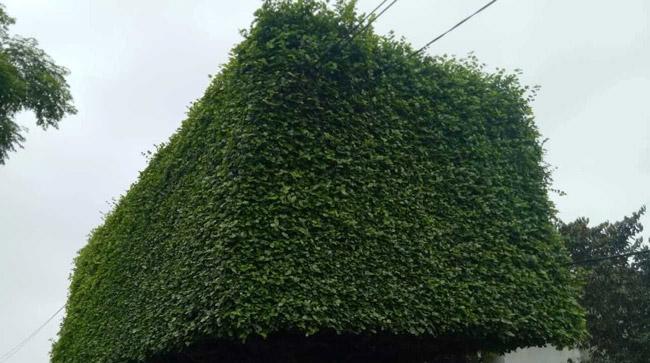 Người đàn ông Nghệ An biến 2 cây duối bỏ đi thành cổng nhà có giá hơn nửa tỷ-6