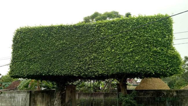 Người đàn ông Nghệ An biến 2 cây duối bỏ đi thành cổng nhà có giá hơn nửa tỷ-7