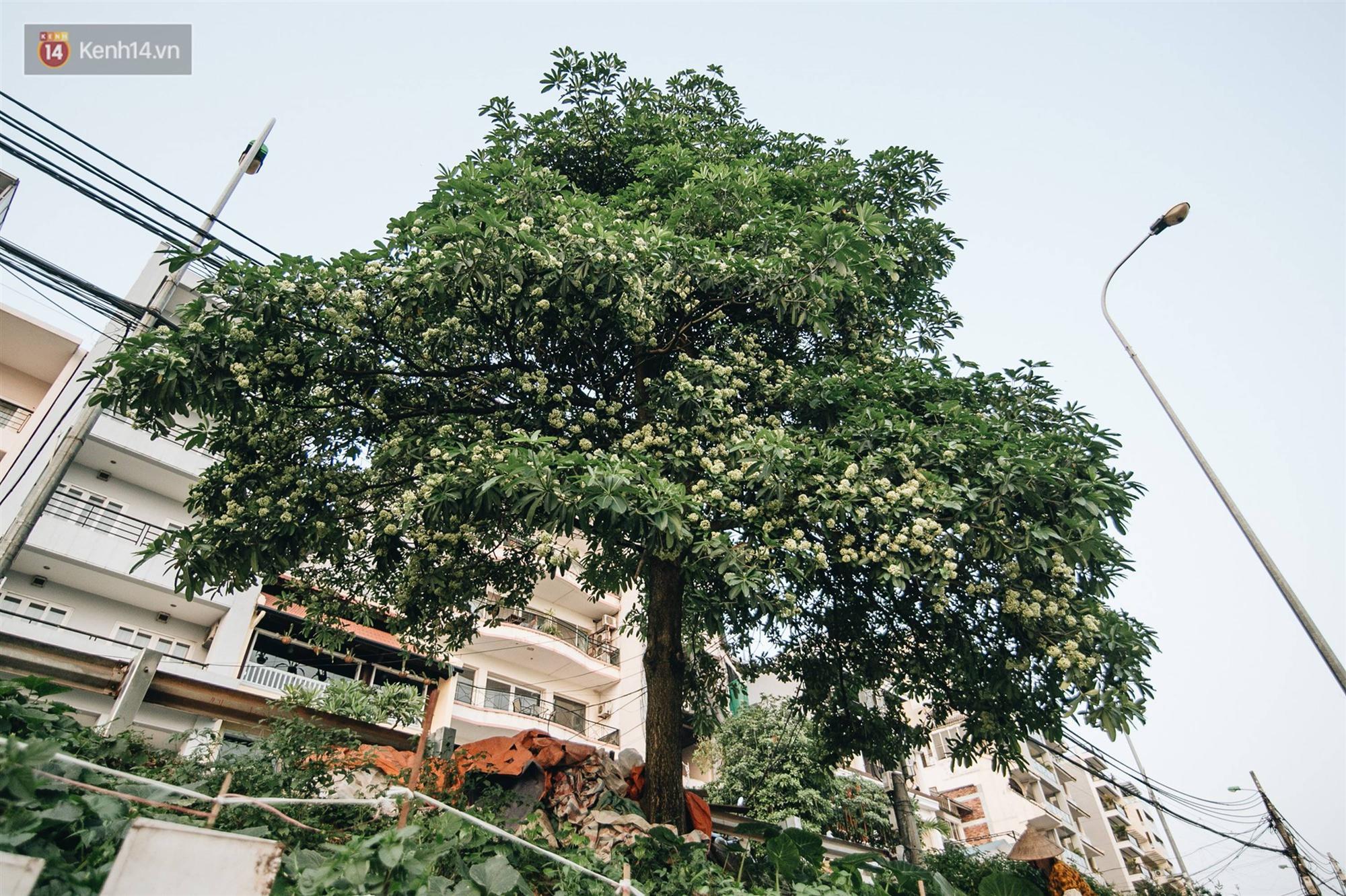 Không chỉ biến hạ thành đông, Hà Nội còn gọi cả hàng cây hoa sữa bung nở khắp phố dù trái mùa-2