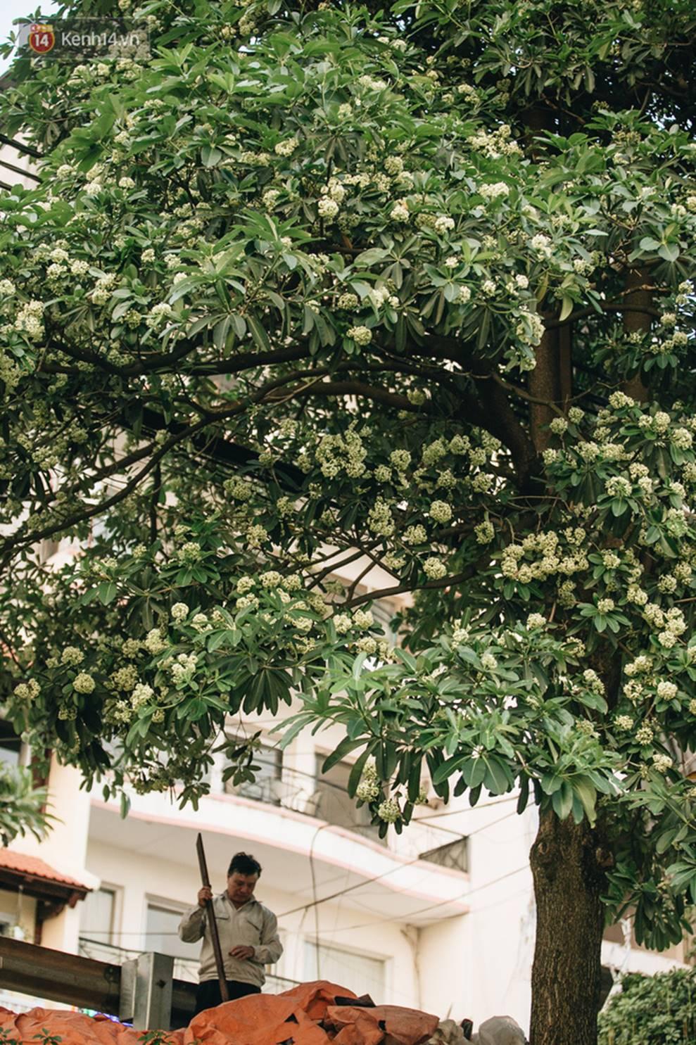 Không chỉ biến hạ thành đông, Hà Nội còn gọi cả hàng cây hoa sữa bung nở khắp phố dù trái mùa-3