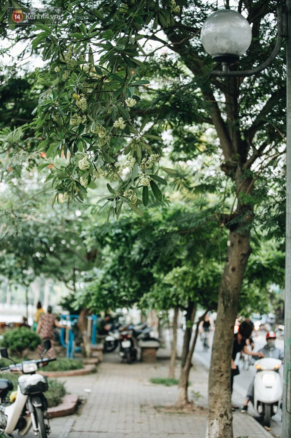 Không chỉ biến hạ thành đông, Hà Nội còn gọi cả hàng cây hoa sữa bung nở khắp phố dù trái mùa-4