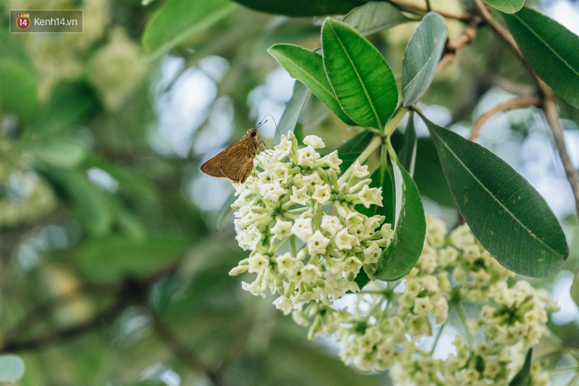 Không chỉ biến hạ thành đông, Hà Nội còn gọi cả hàng cây hoa sữa bung nở khắp phố dù trái mùa-6
