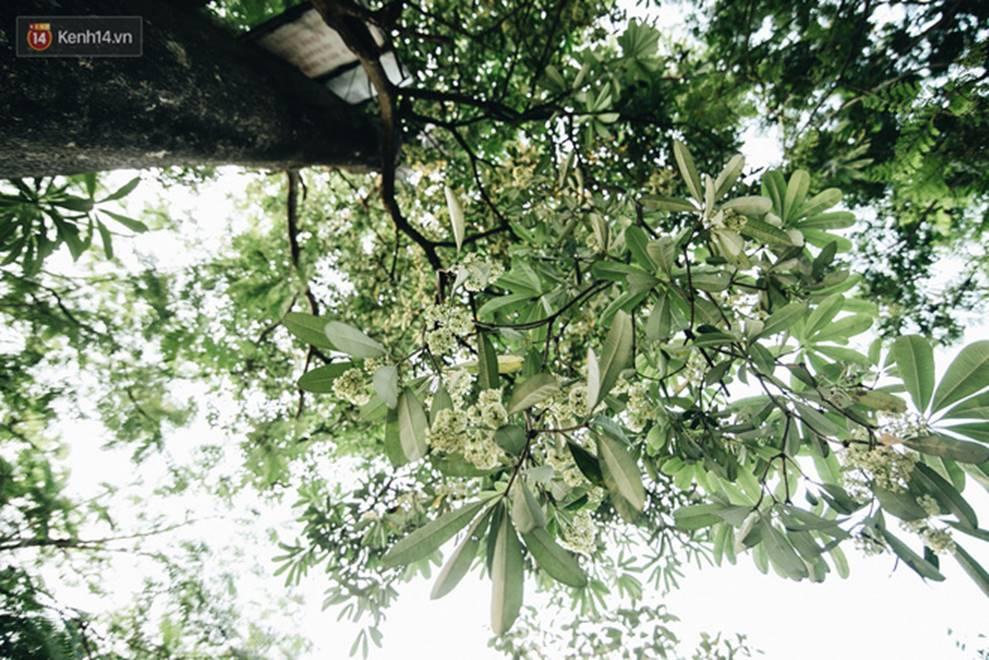 Không chỉ biến hạ thành đông, Hà Nội còn gọi cả hàng cây hoa sữa bung nở khắp phố dù trái mùa-7
