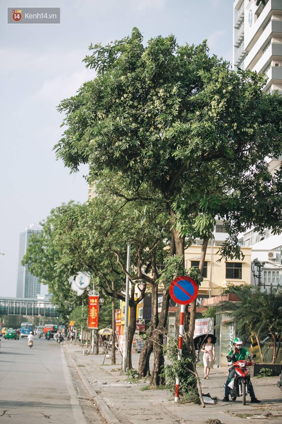 Không chỉ biến hạ thành đông, Hà Nội còn gọi cả hàng cây hoa sữa bung nở khắp phố dù trái mùa-10