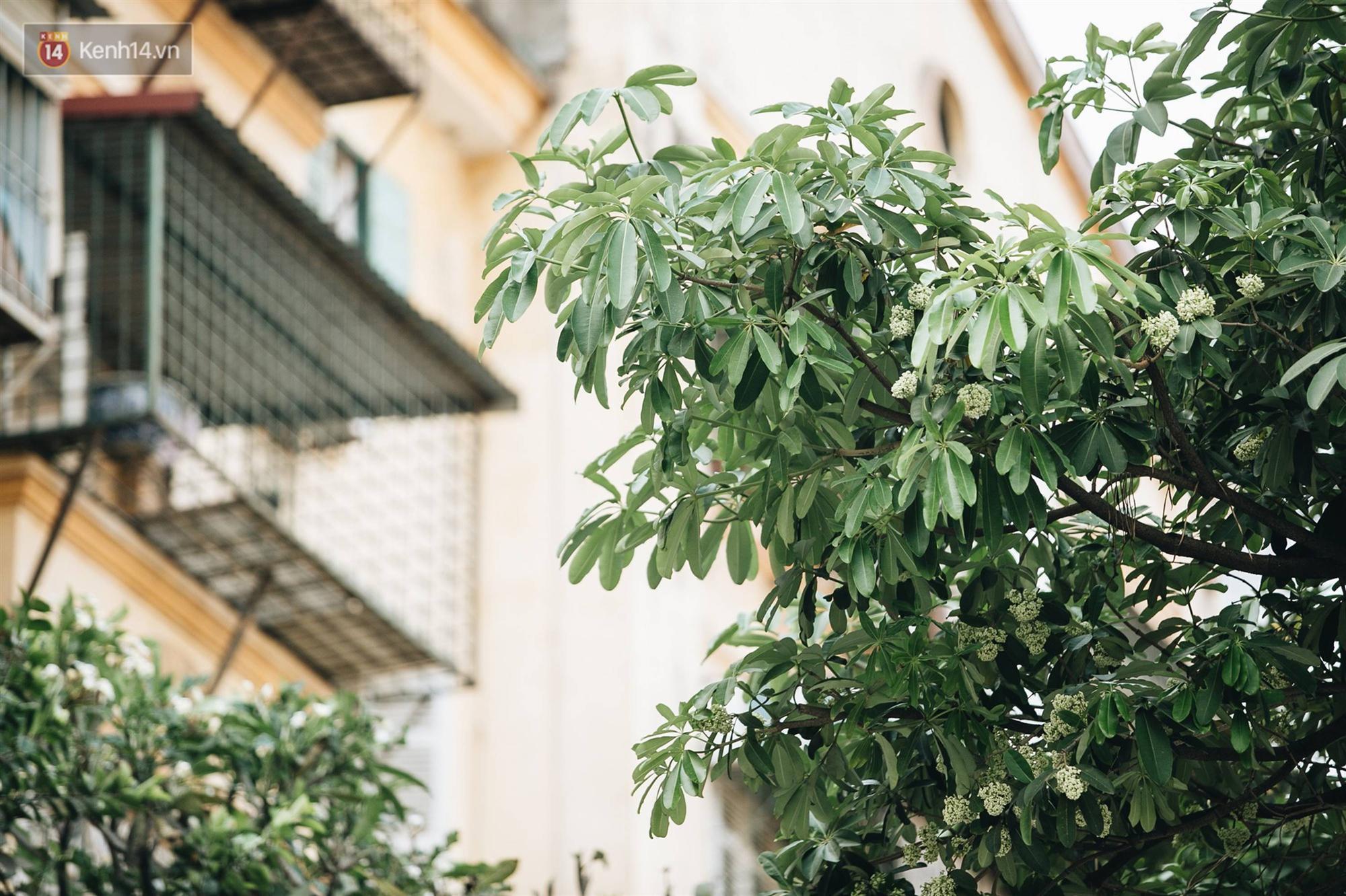 Không chỉ biến hạ thành đông, Hà Nội còn gọi cả hàng cây hoa sữa bung nở khắp phố dù trái mùa-11