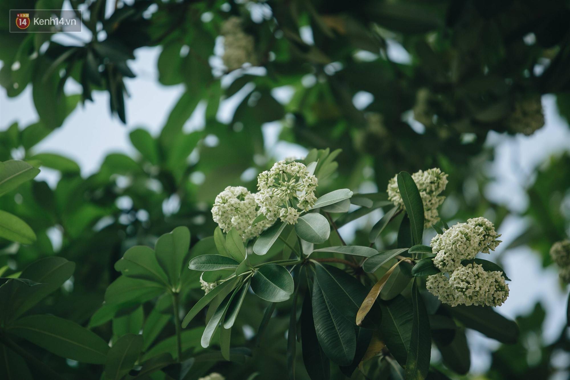 Không chỉ biến hạ thành đông, Hà Nội còn gọi cả hàng cây hoa sữa bung nở khắp phố dù trái mùa-12