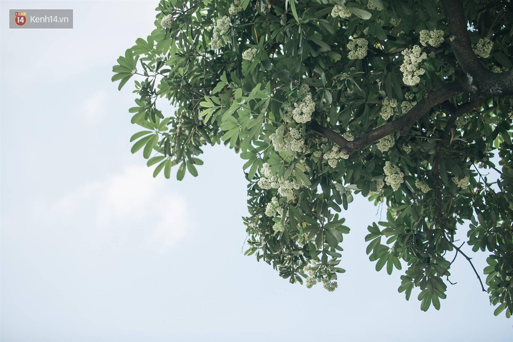 Không chỉ biến hạ thành đông, Hà Nội còn gọi cả hàng cây hoa sữa bung nở khắp phố dù trái mùa-13