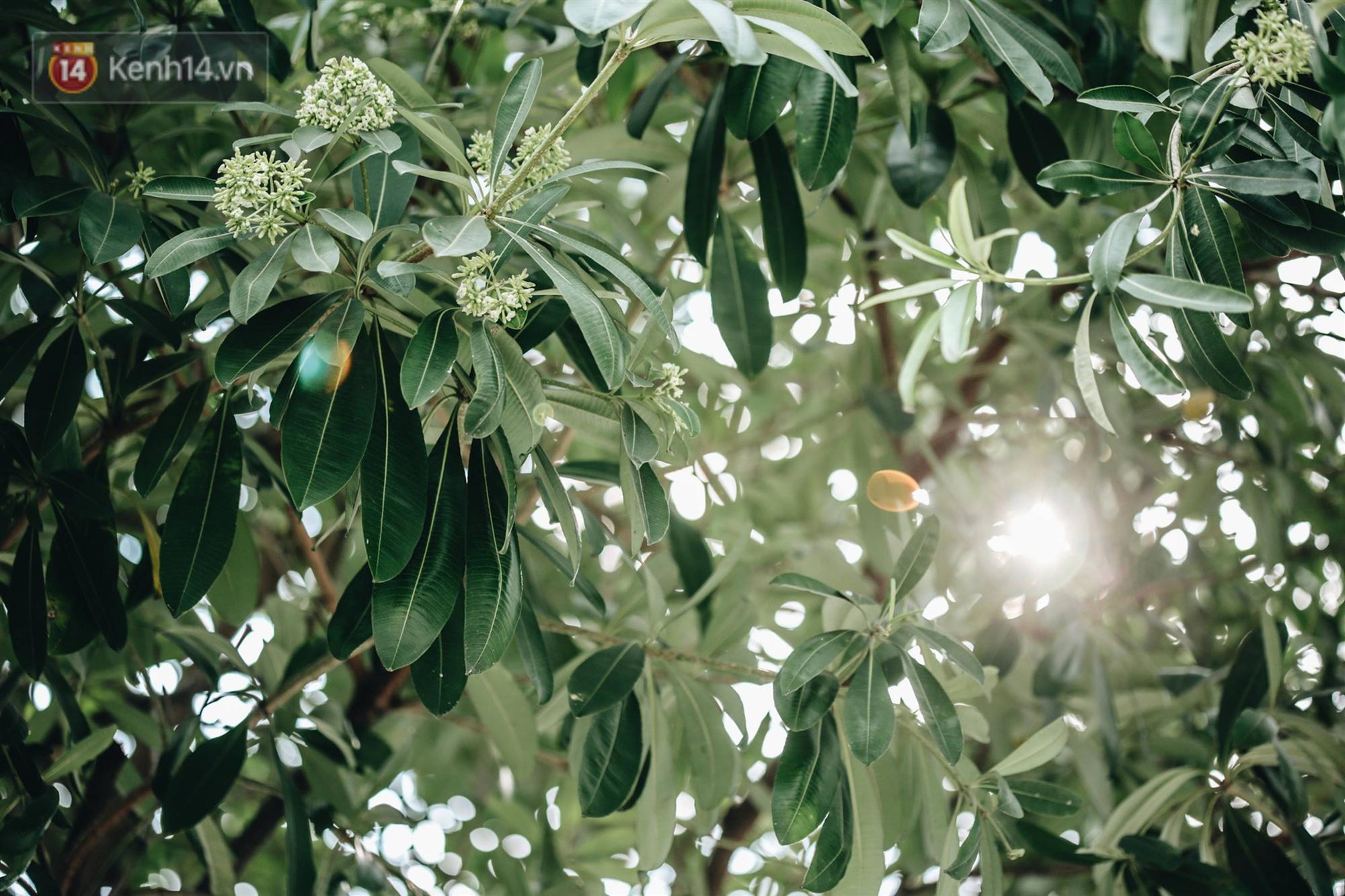 Không chỉ biến hạ thành đông, Hà Nội còn gọi cả hàng cây hoa sữa bung nở khắp phố dù trái mùa-14