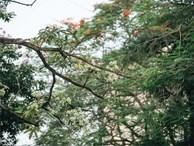 Không chỉ biến hạ thành đông, Hà Nội còn gọi cả hàng cây hoa sữa bung nở khắp phố dù trái mùa