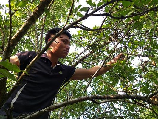 Sơn La: Mùa mận hậu thất bại, giá tăng cao mà lá... nhiều hơn quả-2