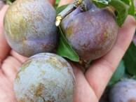 Sơn La: Mùa mận hậu 'thất bại', giá tăng cao mà lá... nhiều hơn quả