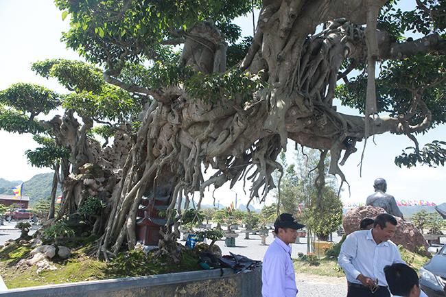 Cây sanh khủng nhất Việt Nam chưa hoàn thiện đã có giá triệu đô-6