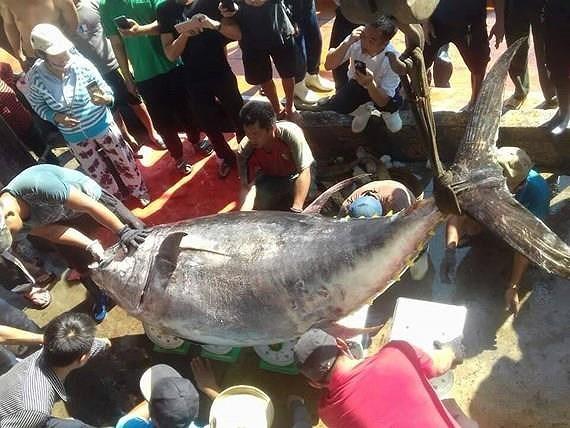 Ngư dân lại câu được cá ngừ vây vàng kỷ lục 386 kg-1