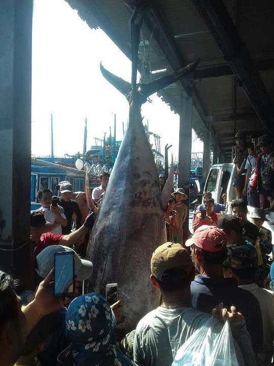 Ngư dân lại câu được cá ngừ vây vàng kỷ lục 386 kg-2