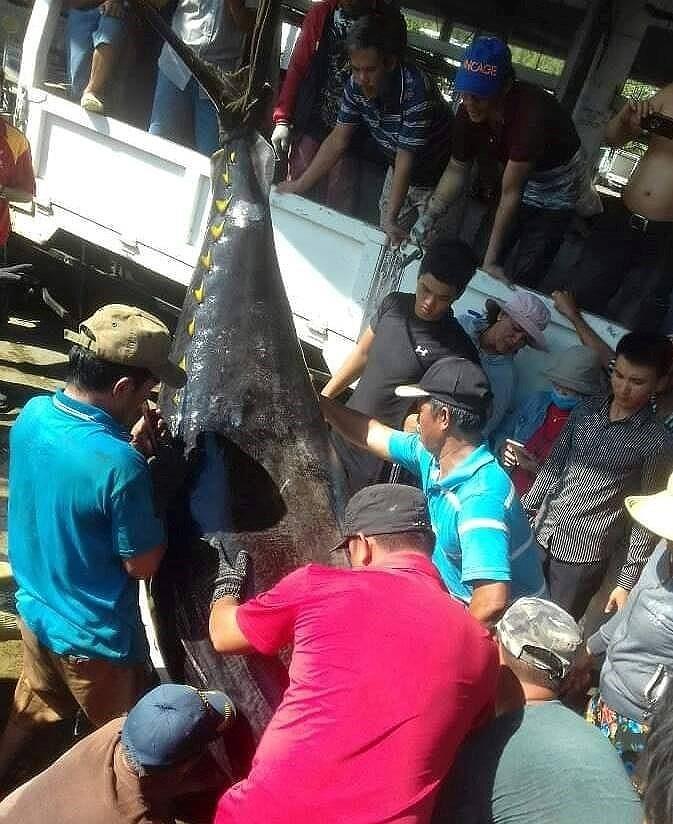 Ngư dân lại câu được cá ngừ vây vàng kỷ lục 386 kg-3