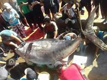 Ngư dân lại câu được cá ngừ vây vàng kỷ lục 386 kg