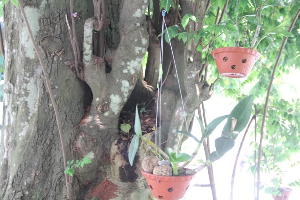 Lạ Nghệ An: Đổ xô kéo đến thắp hương cụ khế trăm tuổi để lấy may-4