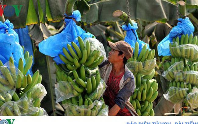 Nông dân Lai Châu lại khó tiêu thụ chuối do quy định từ Trung Quốc-1