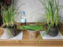 Nhà nào cũng nên trồng sẵn một chậu cây hẹ vì những lợi ích cho sức khỏe trẻ nhỏ và trẻ sơ sinh quá tốt thế này
