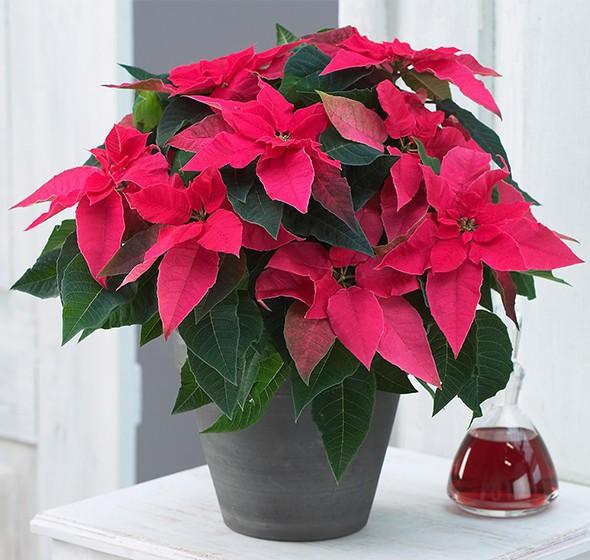 Những loại cây không nên trồng trong nhà để tránh tiêu tán tài lộc, rước bệnh cho gia đình-3