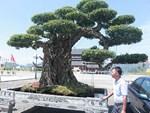 Mãn nhãn với vẻ đẹp kỳ dị của hàng trăm cây sanh bonsai ở Thanh Hóa-15