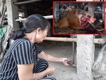 Phẫn nộ kẻ gian xẻ thịt 2 đùi bò mẹ đang mang thai rồi trộm đi
