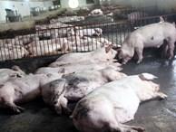 Nguy cơ thiếu thịt, Tết này ăn lợn đông đá