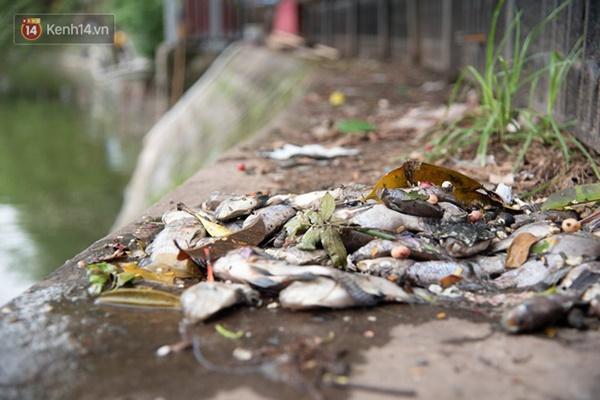 Hà Nội: Cá chết trắng trên hồ Văn Chương, người dân đau đầu vì mùi hôi nồng nặc-1