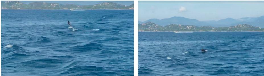 """Lần đầu tiên tại đảo Bình Ba (Khánh Hoà) xuất hiện cá heo đuổi theo"""" tàu của du khách, nhưng mệt quá nên nhảy tí rồi lặn mất-4"""