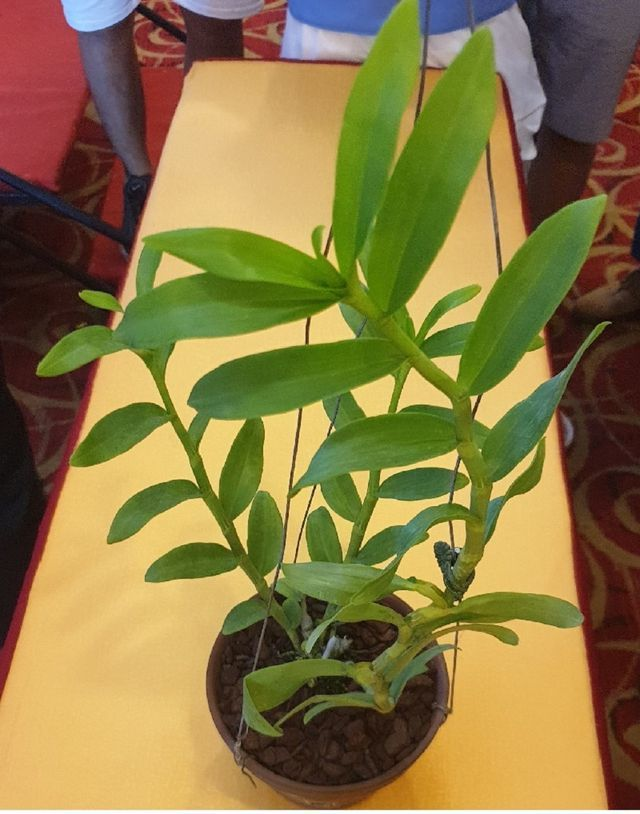 Nhóm đại gia Thái Bình chi 10 tỷ mua cây hoa phong lan: Lộ điểm 'đáng nghi'-1