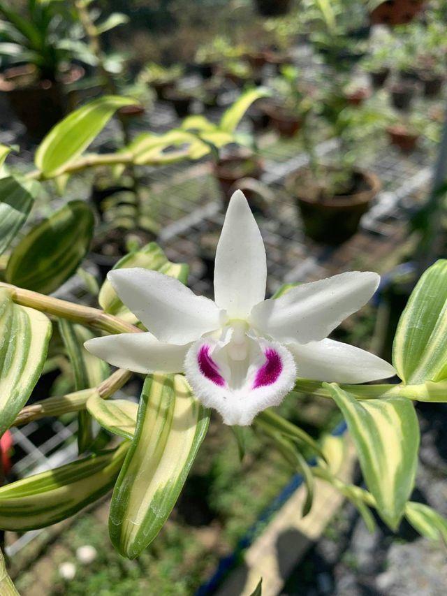 Nhóm đại gia Thái Bình chi 10 tỷ mua cây hoa phong lan: Lộ điểm 'đáng nghi'-2
