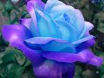 Nơi duy nhất trên thế giới tồn tại hoa hồng đen huyền bí-6