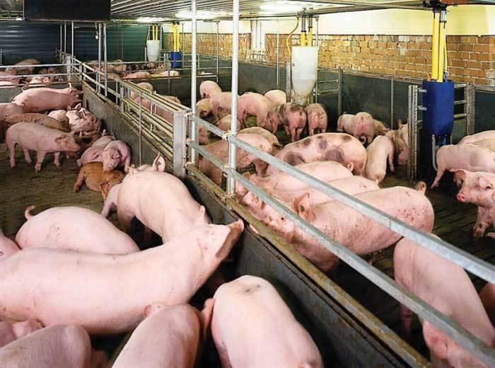 Thịt lợn bất ngờ tăng giá mạnh, thương lái săn hàng bà con không bán-1