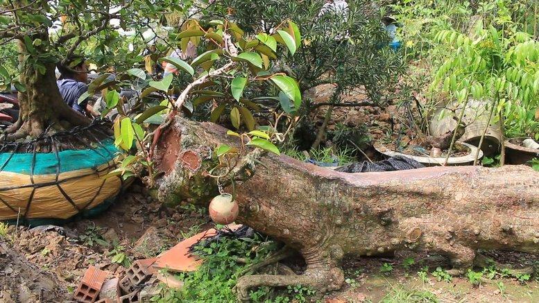 Cụ vú sữa lò rèn cổ, dáng rồng độc nhất, tìm cả miền Tây không ra cây thứ 2-3