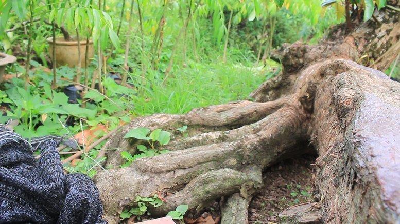 Cụ vú sữa lò rèn cổ, dáng rồng độc nhất, tìm cả miền Tây không ra cây thứ 2-5