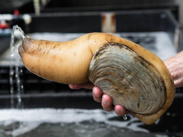 Loài ốc của quý siêu đắt đỏ giá 2,5 triệu/kg bán đầy Việt Nam-1