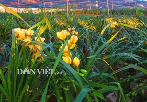 Chiêm ngưỡng hàng trăm giò lan khoe sắc ở Mộc Châu-6