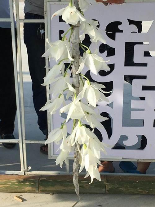 Chiêm ngưỡng hàng trăm giò lan khoe sắc ở Mộc Châu-9