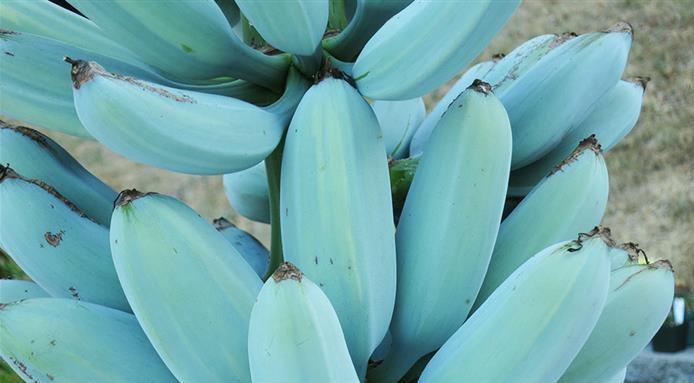 Ngỡ ngàng với chuối xanh da trời hơn 2 triệu đồng/nải-1