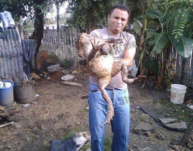 Loài ếch khổng lồ, to như đứa trẻ được giới nhà giàu yêu thích-3