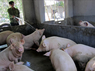 Thời dịch tả lợn châu Phi và chuyện lạ cho heo ăn thêm trứng gà