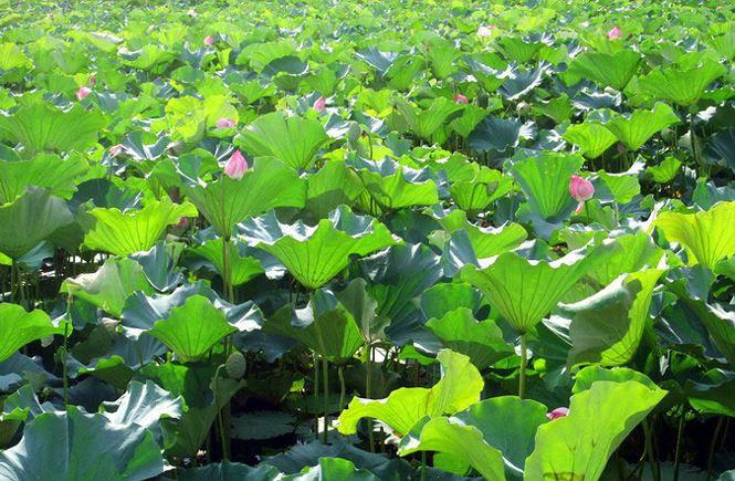 Những đầm sen tuyệt đẹp quanh Hà Nội nhất định phải check-in một lần-11