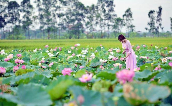 Những đầm sen tuyệt đẹp quanh Hà Nội nhất định phải check-in một lần-5