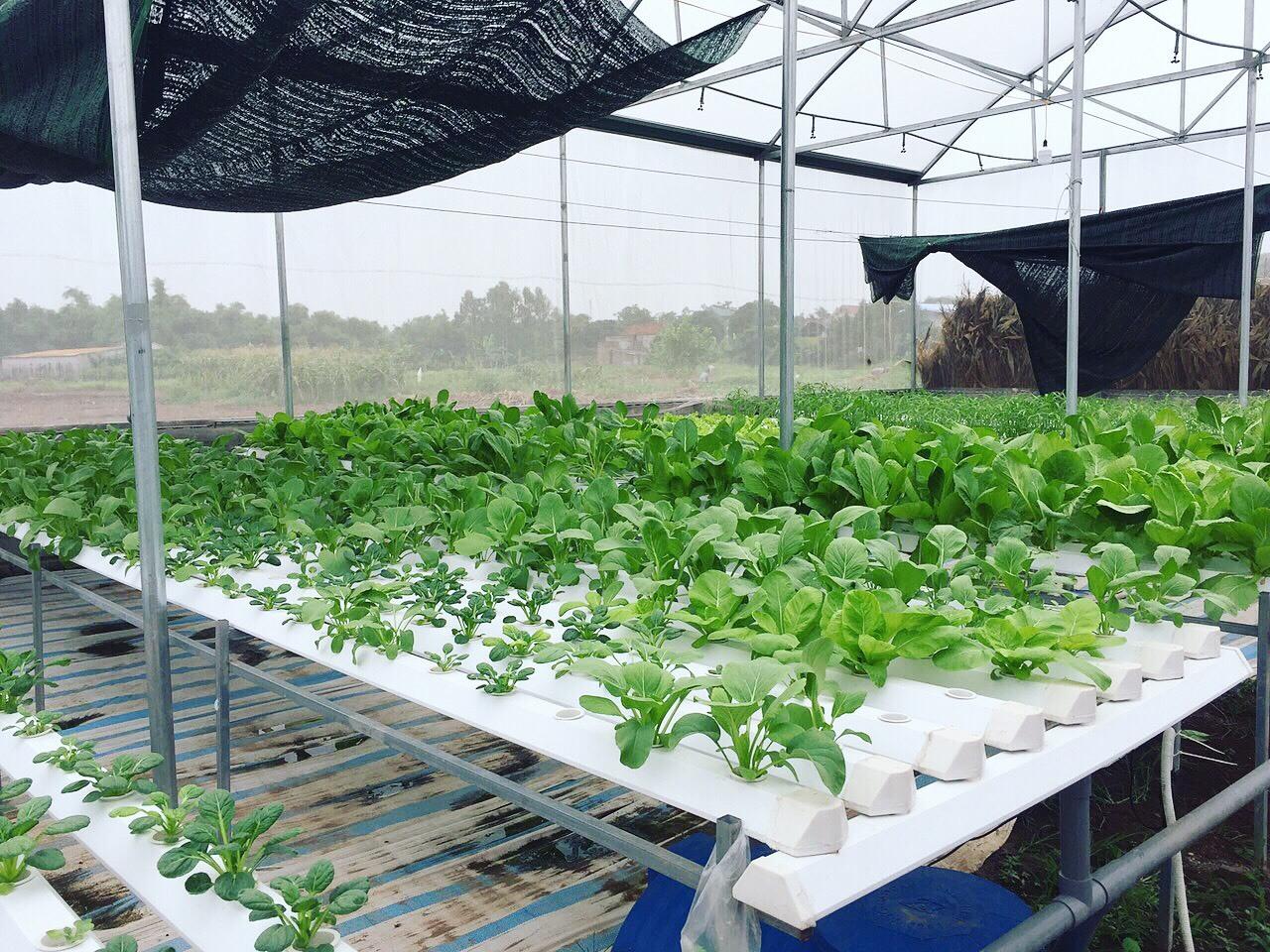 Cử nhân về quê sống nhờ 200m2 vườn, ngày ngày bán rau khắp Hà Nội-7