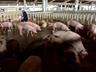 Thu gom lợn chết giết mổ, bán cho quán cơm tiêu thụ