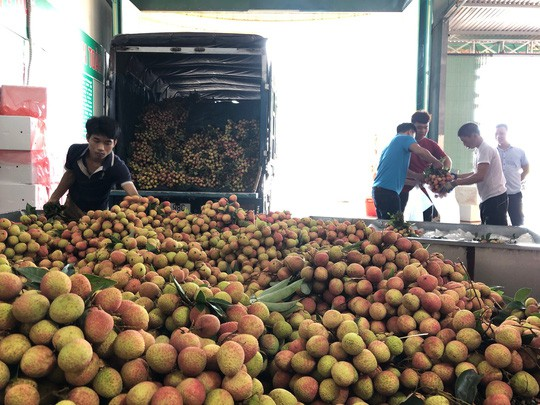 Ngay tại Bắc Giang, vải tươi loại 1 mua tại vườn đã 70.000 đồng/kg!-1
